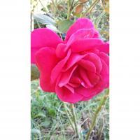 Un rosier qui fleuri sans discontinuer en région PACA