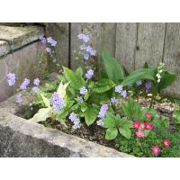 Saxifrage, muguet, omphalodes et hosta white feather