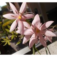 Lys des Cafres rose mi-octobre