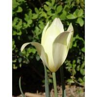 Quelques jours après ouverture la tulipe s'éclaircit et retrousse certaines de ses pétales