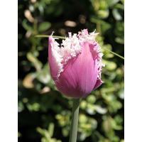 tulipe Cummins sous le soleil