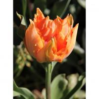 Tulipe william of orange après quelques jours de floraison