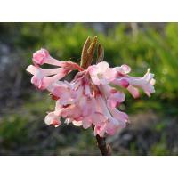 Floraison précoce et parfumée (petite certes mais c'est sa toute première ! ;-))