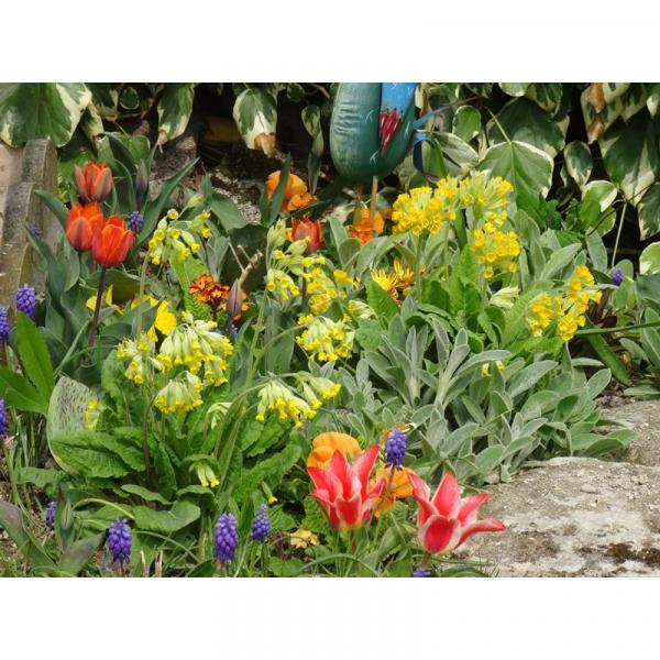 Fleur sauvage britannique Primula Veris-Cowslip 50 graines-Paquet économique