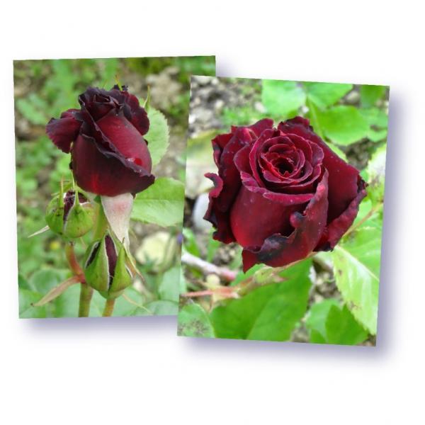 Rosa Black Baccara Arbuste Hybride De The Moderne A Grandes