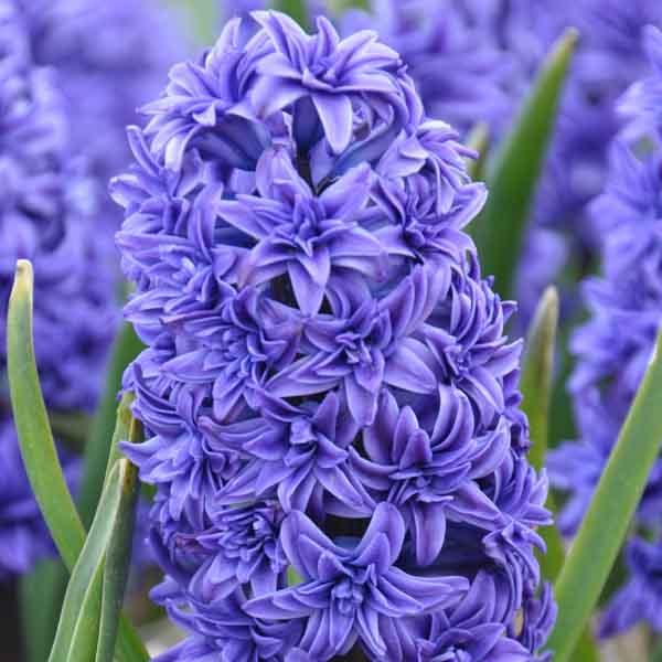 Planter les bulbes pour floraison printani re - Bulbes a floraison automnale ...