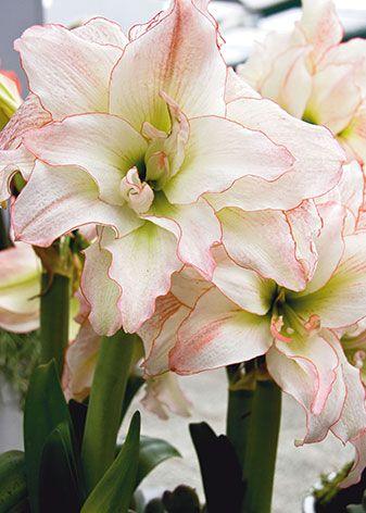bulbes d 39 int rieur amaryllis jacinthe narcisse forcer pour fleurir la maison en hiver. Black Bedroom Furniture Sets. Home Design Ideas