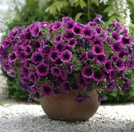 Plantes annuelles for Catalogue fleurs et plantes