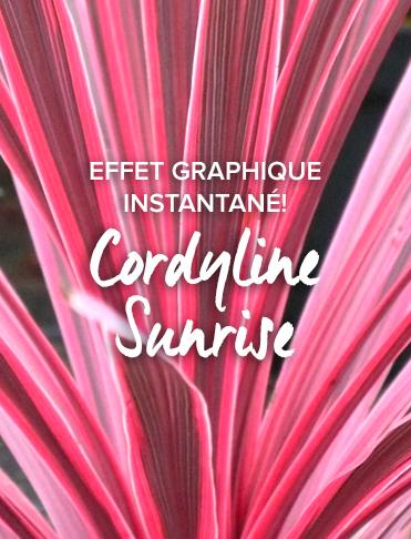 Cordyline-Sunrise