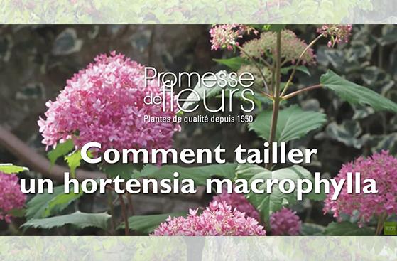 tailler hortensia