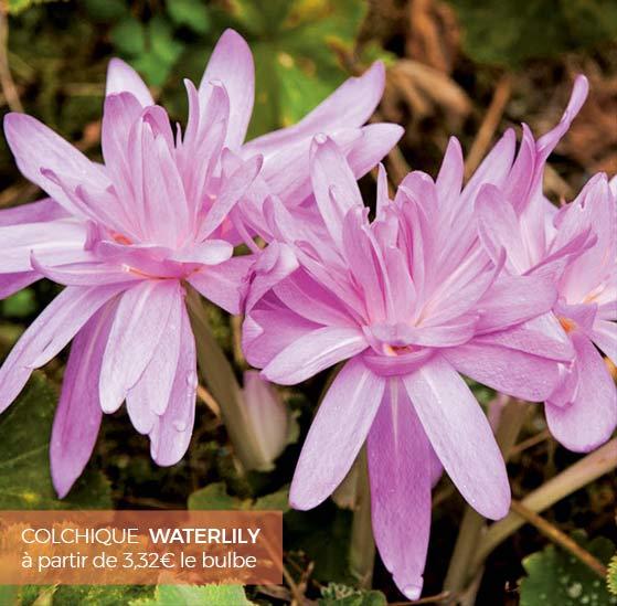 Bulbes floraison d 39 t et d 39 automne - Bulbes a floraison automnale ...