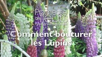 lupin la ch telaine lupinus vivace pis de fleurs roses et blanches. Black Bedroom Furniture Sets. Home Design Ideas