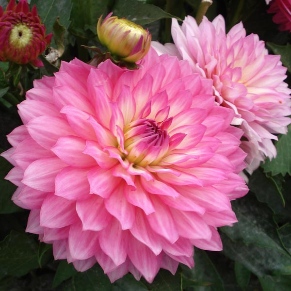 Dahlias: comment les planter, les soigner, et les hiverner