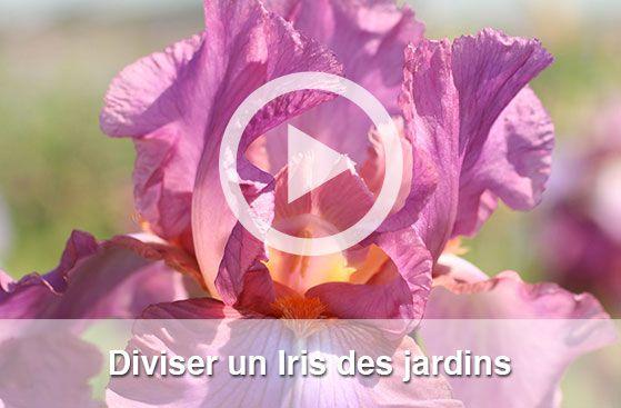 Diviser un iris, vidéo jardin