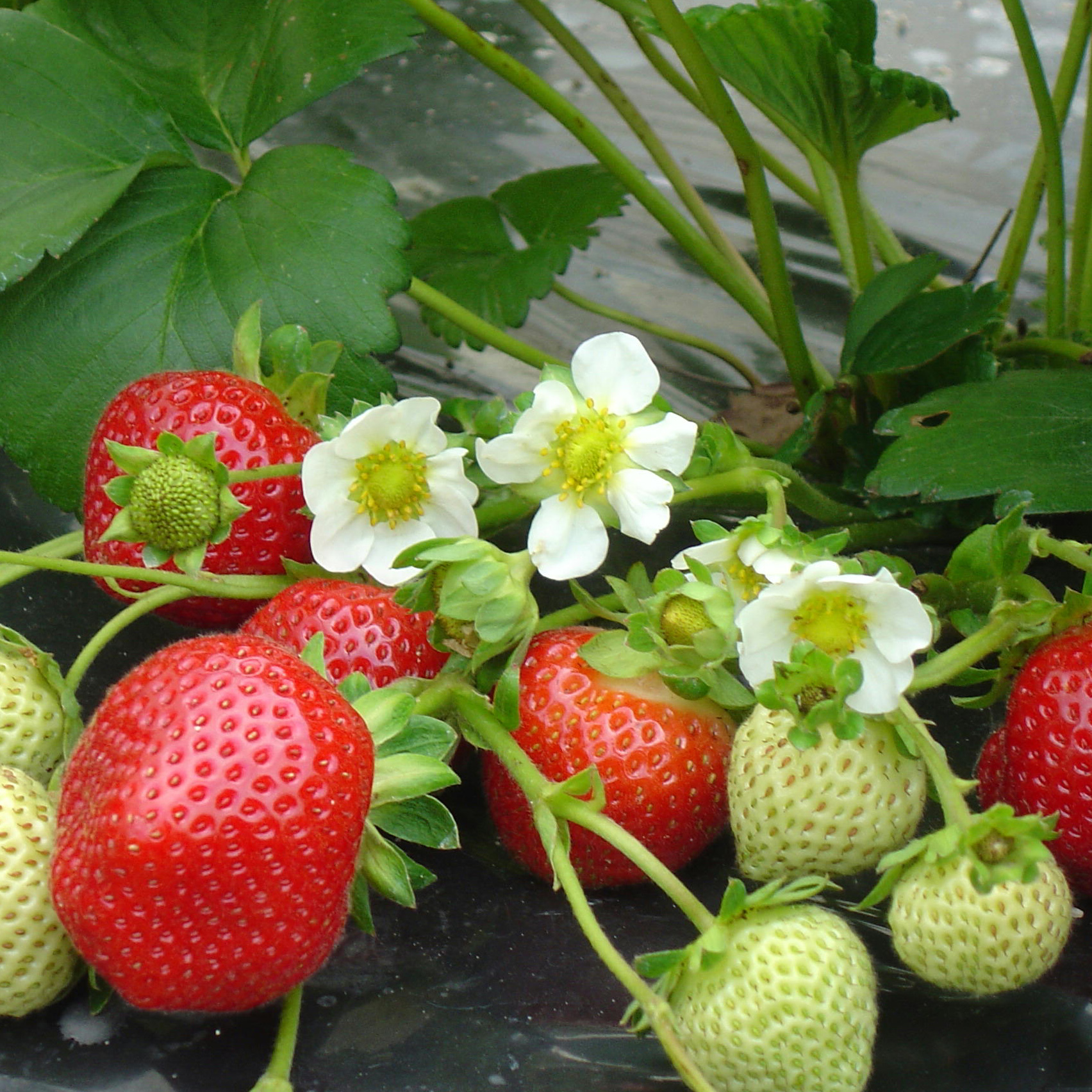 planter et cultiver les fraisiers. Black Bedroom Furniture Sets. Home Design Ideas