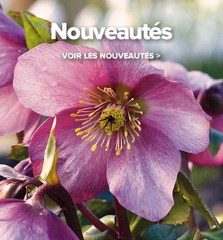 Hell bores ou roses de no l floraison hivernale 70 for Vivace floraison hivernale