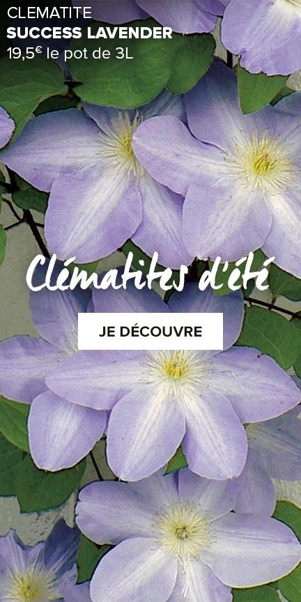 clematites-a-floraison-estivale