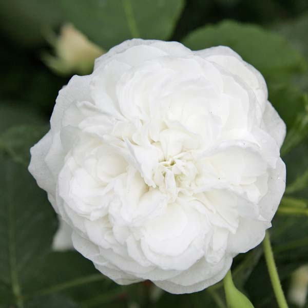 Planter des rosiers - Quand planter des framboisiers ...