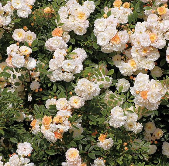 notre gamme de rosiers anglais anciens grandes fleurs grimpants couvre sol. Black Bedroom Furniture Sets. Home Design Ideas