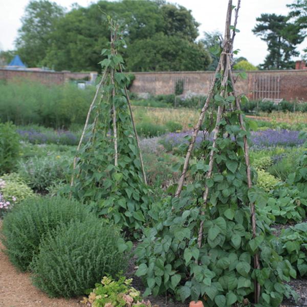 Tuteurer les vari t s rames - Quels sont les meilleures varietes d haricot vert ...