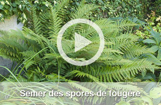 Semer des spores de fougère, vidéo