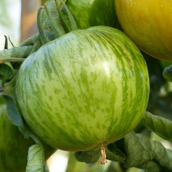 Planter les tomates en mini mottes - Plantation de tomates ...
