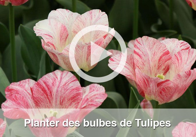 vente de plus de 350 vari t s de bulbes de tulipes pour votre jardin. Black Bedroom Furniture Sets. Home Design Ideas