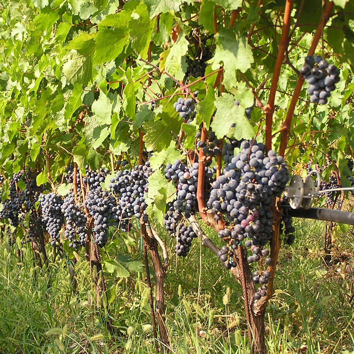 Vigne plantation taille et entretien - Entretien de la vigne ...