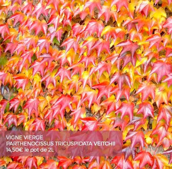 Plante grimpante cl matite et rosier grimpant pour votre for Vigne vierge grimpante feuillage persistant