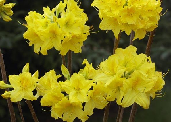 Rhododendrons et Azalées