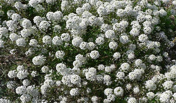 Alyssum - Corbeille d'or