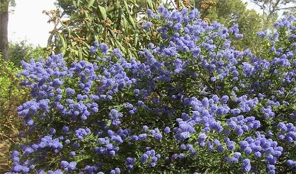 arbustes fleurs bleues une large gamme persistants ou caducs vendue en ligne. Black Bedroom Furniture Sets. Home Design Ideas