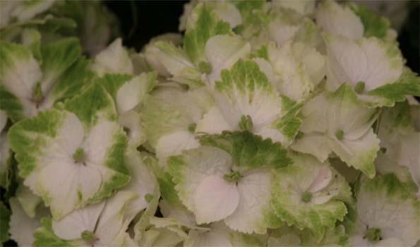 Arbustes à fleurs vertes