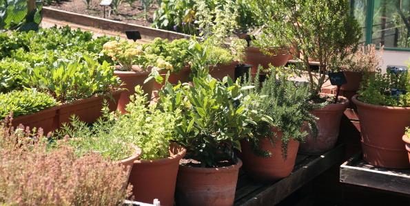 Plants d'Aromatiques en minimottes