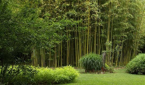 Bambous de A à Z