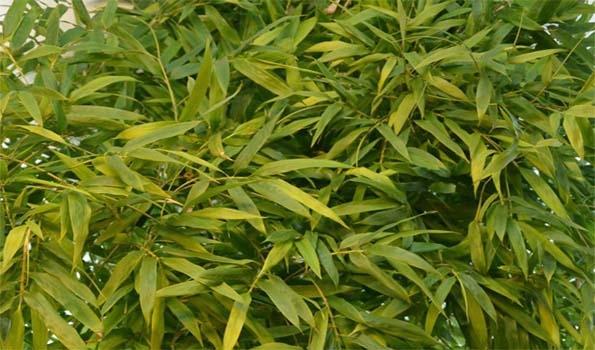 Bambous traçants