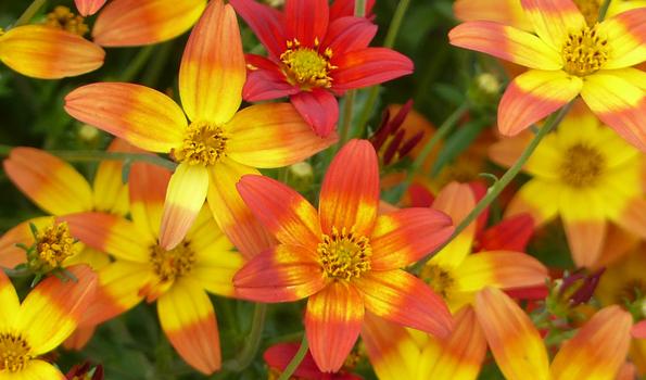 Annuelles à floraison estivale