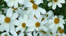 Annuelles à fleurs en marguerite