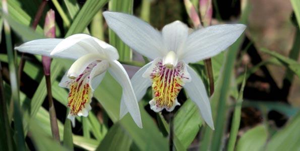 Blétillas ou Orchidées jacinthe