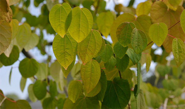 Cercidiphyllum - Arbre à caramel