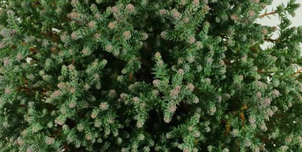 Chamaecyparis (Faux-cyprès)