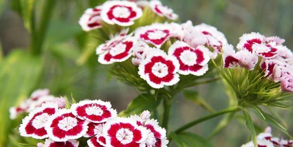 Dianthus - Oeillets