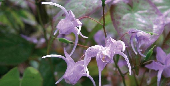 Epimediums - plantes des elfes