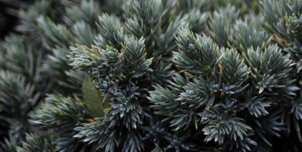 Juniperus (Genévrier)