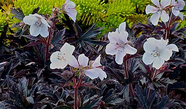 Géraniums vivaces à feuillage coloré