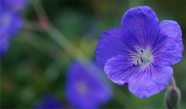 Géraniums vivaces bleus