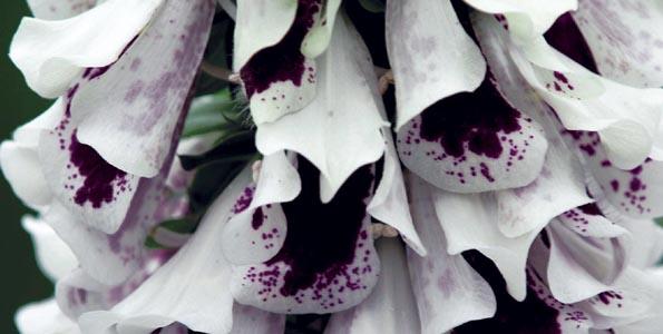 Graines de fleurs pour la mi-ombre
