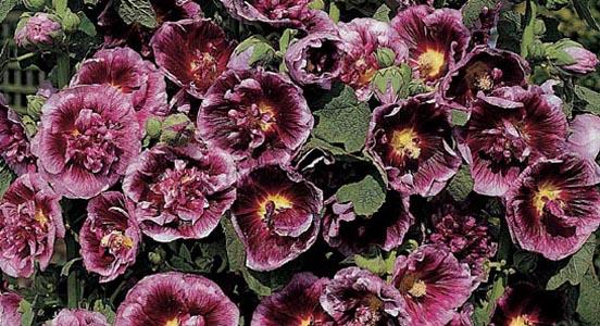 Graines de fleurs graines ornementales semences florales for Catalogue de fleurs vivaces