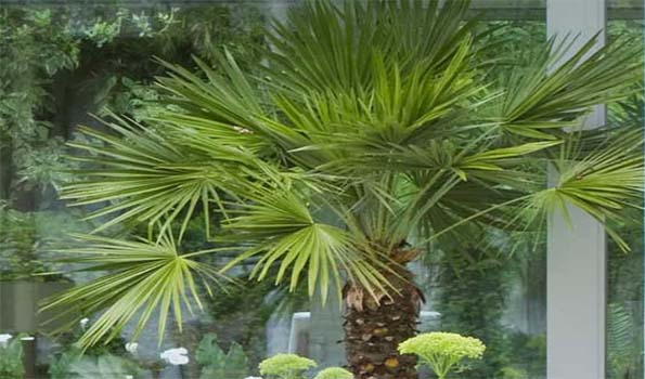 les grands palmiers des plantes exotiques exceptionnelles d passant 6m de hauteur adoptez un. Black Bedroom Furniture Sets. Home Design Ideas
