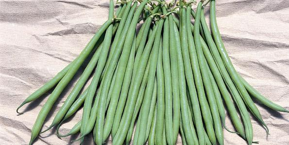 Haricot filet phaseolus vulgaris haricot fin de bagnol haricot favorel - Variete de haricot vert ...
